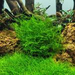 Mech Stringy moss (Leptodictyum riparium)