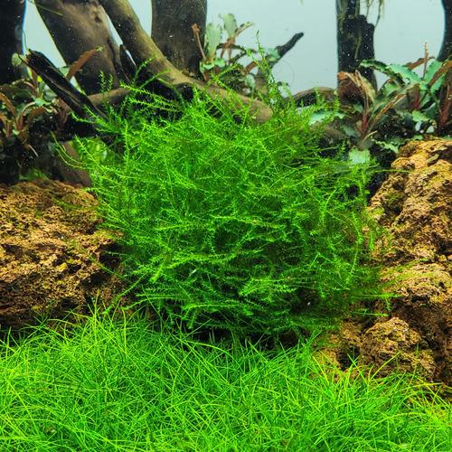 Mech Stringy moss (Leptodictyum riparium) - opakowanie