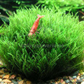 Mech Stringy moss (Leptodictyum riparium) - [opakowanie]
