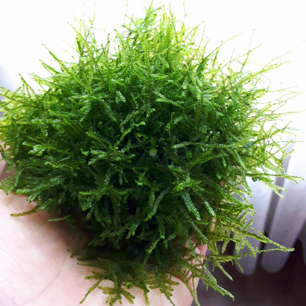 Mech Taiwan moss (Taxiphyllum alternans) - opakowanie