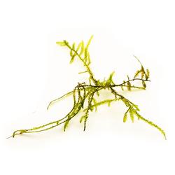 Mech Taiwan moss (Taxiphyllum alternans) - sadzonka