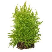 Mech Taiwan moss (Taxiphyllum alternans) - TROPICA - opakowanie 5cm