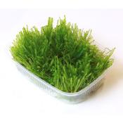 Mech Taiwan moss (Taxiphyllum alternans) - TROPICA - opakowanie XXL