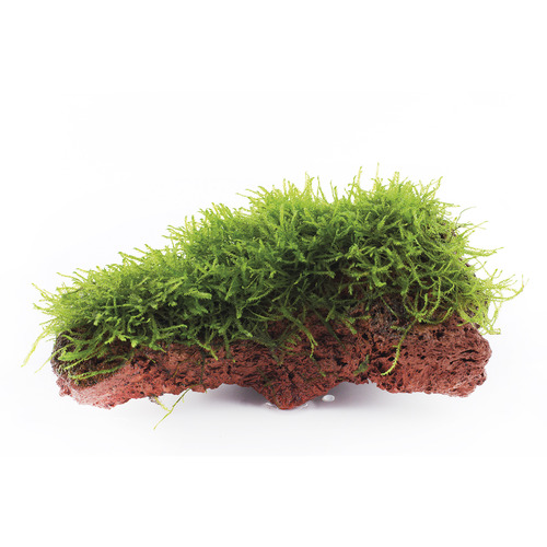 Mech Taxiphyllum barbieri (Java Moss) na lawie - TROPICA