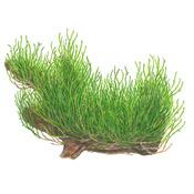 Mech Taxiphyllum Flame (Flame moss) - in-vitro (w żelu)