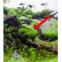 Mech Taxiphyllum sp.Spiky Moss (in-vitro) puszka 5cm XXL