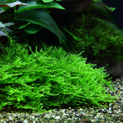 Mech Taxiphyllum sp.Spiky Moss (in-vitro) puszka 10cm XXL