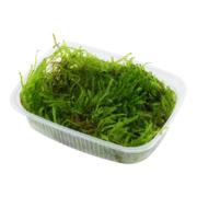Mech Taxiphyllum Spiky (spiky moss) - pojemnik 150ml