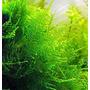 Mech Taxiphyllum Taiwan moss - PLANTACJA in-vitro