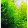 Mech Taxiphyllum - Taiwan moss - TROPICA in-vitro 12GROW