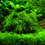 Mech Vesicularia ferriei (Weeping moss) - porcja 10cm XXL