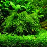 Mech Vesicularia ferriei (Weeping moss) - porcja 5cm