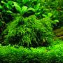 Mech Weeping moss (Vesicularia ferriei) - opakowanie