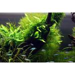 Mech Weeping moss (Vesicularia ferriei) TROPICA in-vitro 12GROW