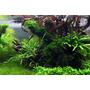 Mech Weeping moss (Vesicularia ferriei) TROPICA - opakowanie 5cm