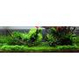 Mech Weeping moss (Vesicularia ferriei) TROPICA - opakowanie XXL