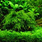 Mech Weeping moss (Vesicularia ferriei) - [opakowanie 8.5cm]