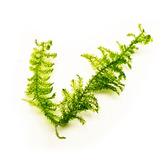 Mech Weeping moss (Vesicularia ferriei) - sadzonka