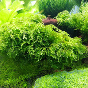 Mech Weeping moss (Vesicularia ferriei) SONGROW in-vitro