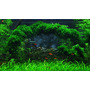 Mech Weeping moss (Vesicularia ferriei) TROPICA in-vitro 12GROW