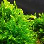 Mech Willow moss (Fontinalis duriea) - opakowanie