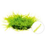 Mech Willow moss (Fontinalis antipyretica) - [opakowanie]