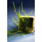 Mech Woody moss (Climacium sp.)  - [opakowanie]