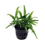 Micorosorium philipine MINI - RATAJ (koszyk) - miniaturowy!