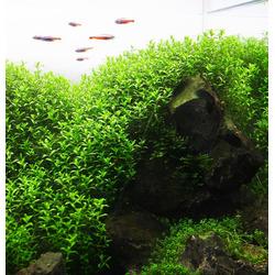 Micranthemum micranthemoides - in-vitro Aqua-Art