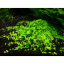 Micranthemum Monte Carlo (wanienka 15x10cm)