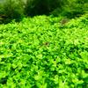 Micranthemum Monte Carlo (in-vitro) puszki XXL