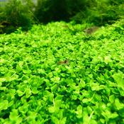 Micranthemum Monte Carlo - in-vitro Aqua-Art