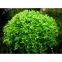 Micranthemum Monte Carlo - PLANTACJA (koszyk)