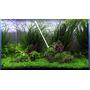 Micranthemum Monte Carlo - RA (koszyk) XXL