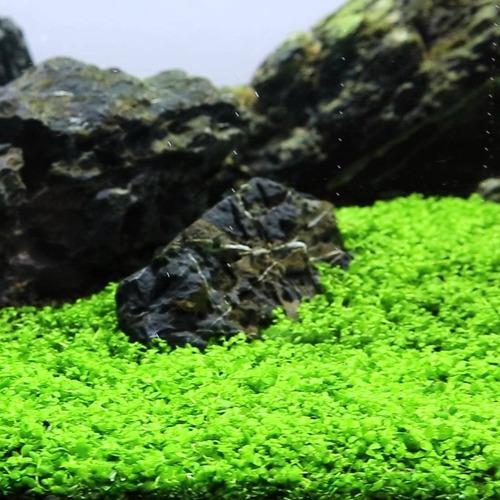 Micranthemum Monte Carlo - RATAJ (koszyk)