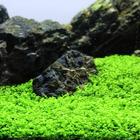 Micranthemum Monte Carlo - SONGROW (koszyk)