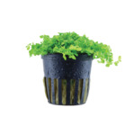 Micranthemum tweediei Monte Carlo - TROPICA (koszyk)