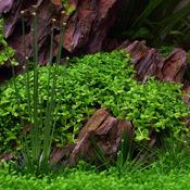 Micranthemum tweediei Monte Carlo - TROPICA in-vitro 12GROW