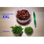 Micranthemum umbrosum (in-vitro) puszka 10cm XXL