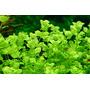 Micranthemum umbrosum (in-vitro) puszka 5cm