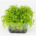 Micranthemum umbrosum (wanienka 15x10cm)