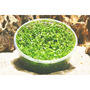 Micranthemum umbrosum - in-vitro Aqua-Art