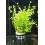 Micranthemum umbrosum - RA koszyk duży XXL