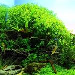 Micranthemum umbrosum - RATAJ (koszyk)