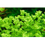 Micranthemum umbrosum - sadzonka