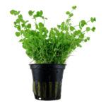 Micranthemum umbrosum - TROPICA (koszyk)