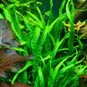 Microsorum minor - thin leaves - Songrow (koszyk)