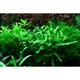 Microsorum pteropus Narrow na korzeniu - TROPICA