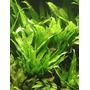 Microsorum pteropus - Songrow (koszyk)