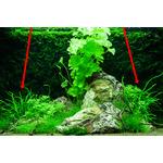 Microsorum pteropus Trident na korzeniu - TROPICA